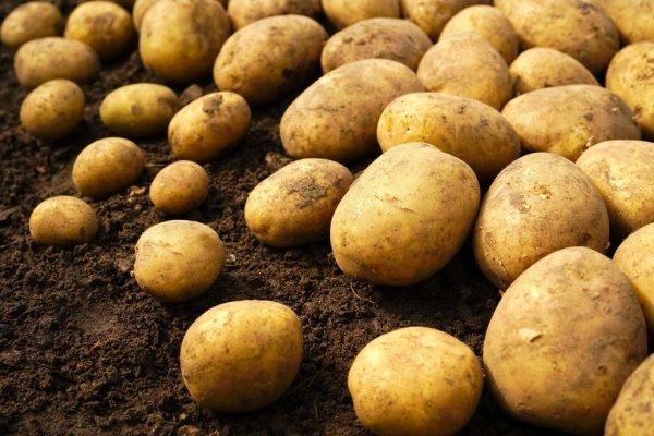 Как правильно высушивать картофель после копки: условия и нормы сушения