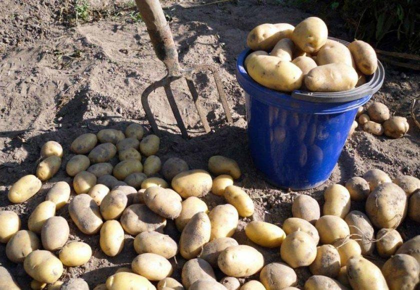 Зачем сушить картофель после копки