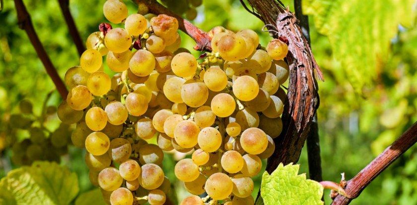 Виноград Маркиз
