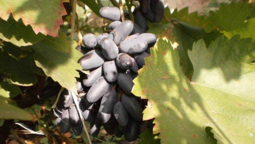 Виноград Блек фингер