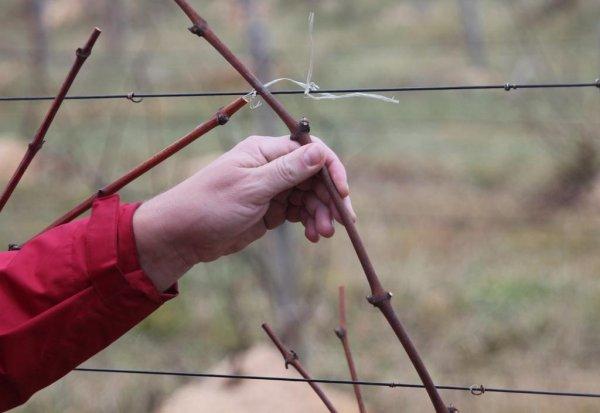 Як виростити виноград з лози
