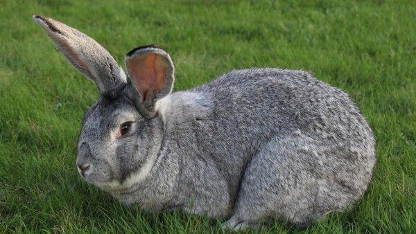 Порода кроликов Бельгийский великан: особенности разведения в домашних условиях
