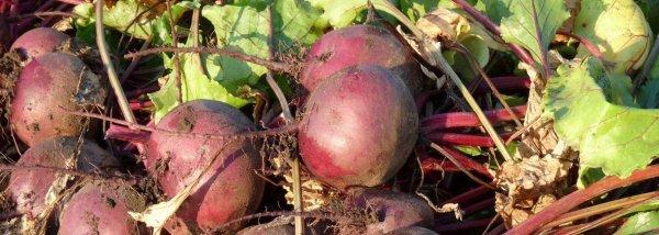 Свекла Пабло f1: описание сорта, особенности выращивания