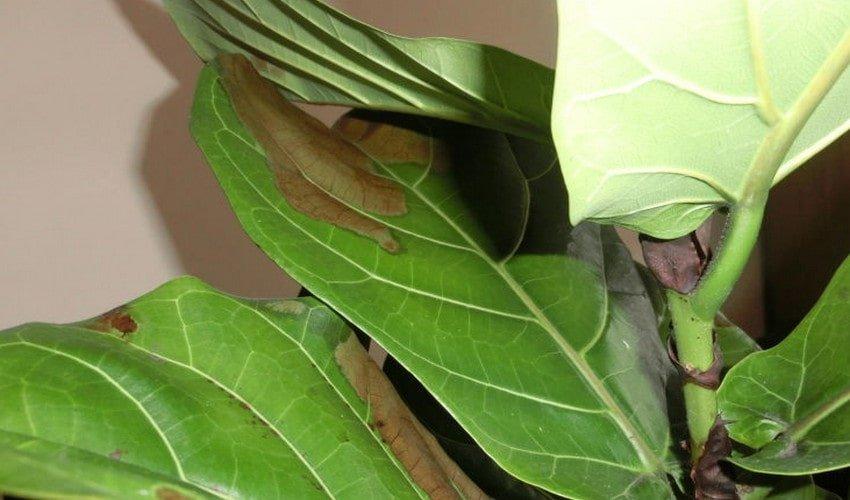 У фикуса чернеют листья
