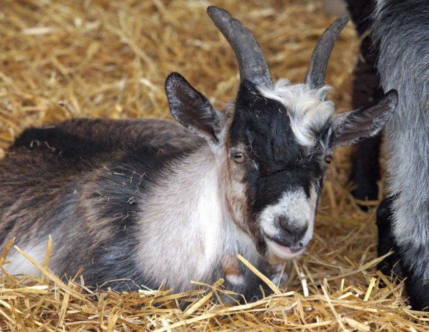 Карликовый козел