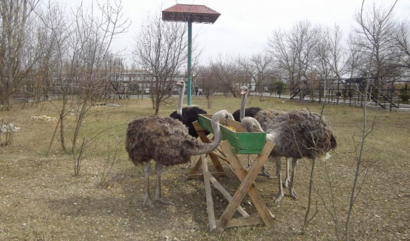 Кормление страусов