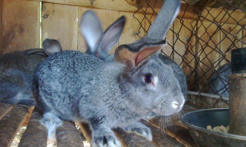 Кролик серый великан