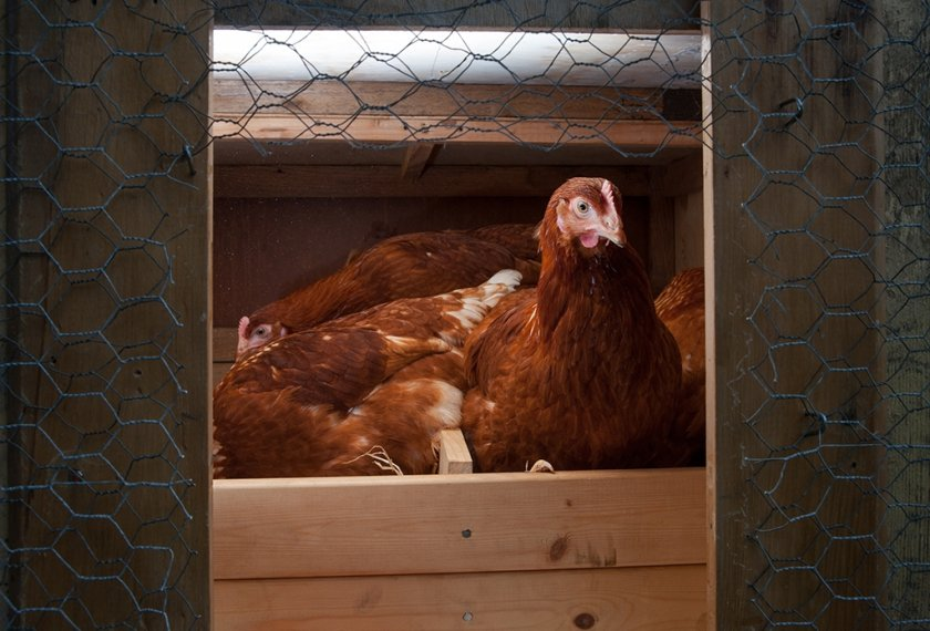 Курицы-несушки
