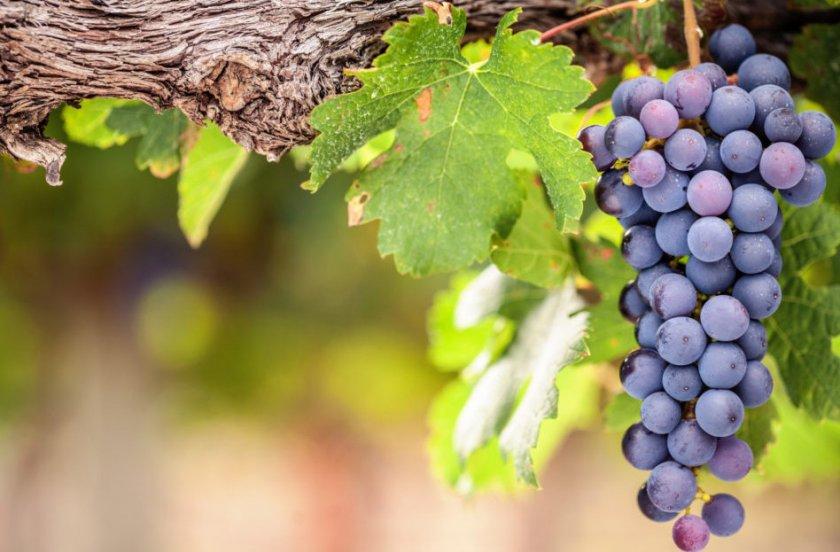 Виноград сорта Шираз