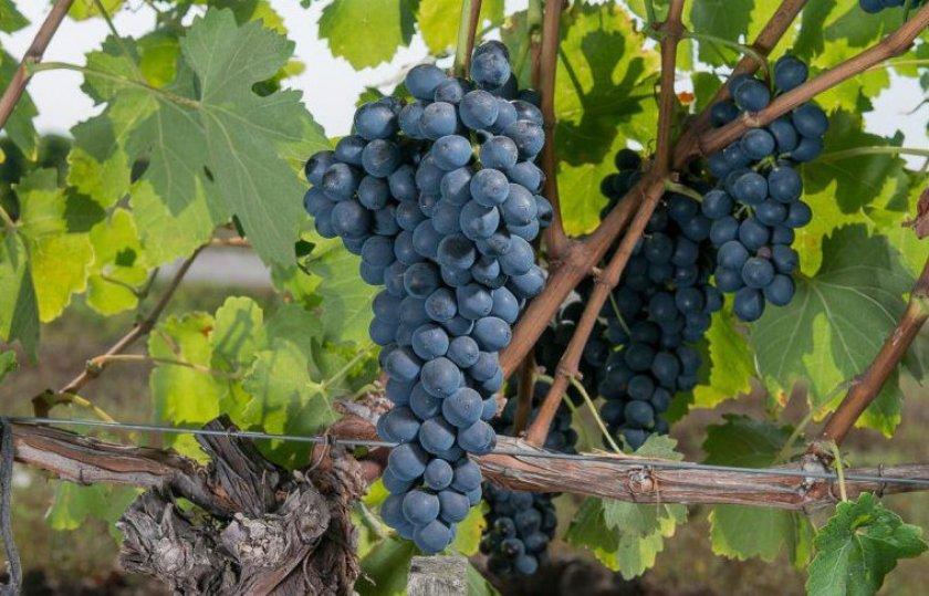 Свойства винограда Шираз