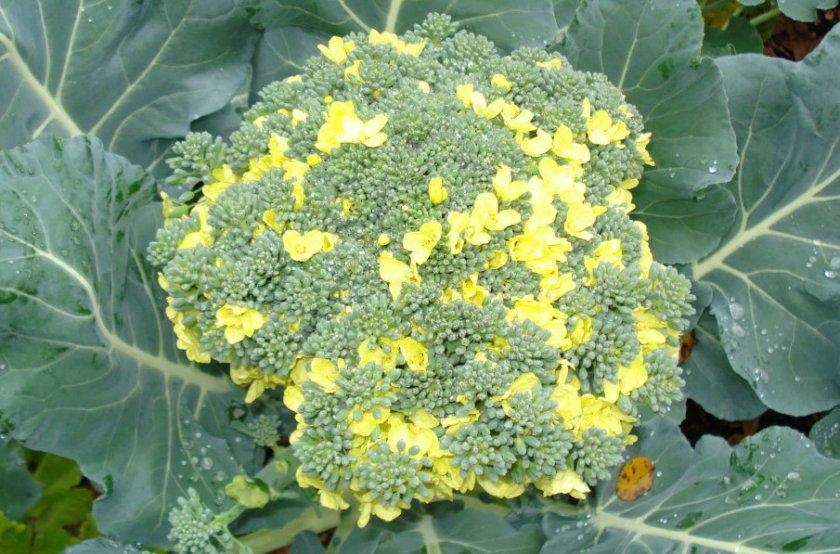 Брокколи пожелтела: можно ли есть пожелтевшую брокколи или если она зацвела? Как правильно хранить капусту брокколи, чтобы она не пожелтела: советы