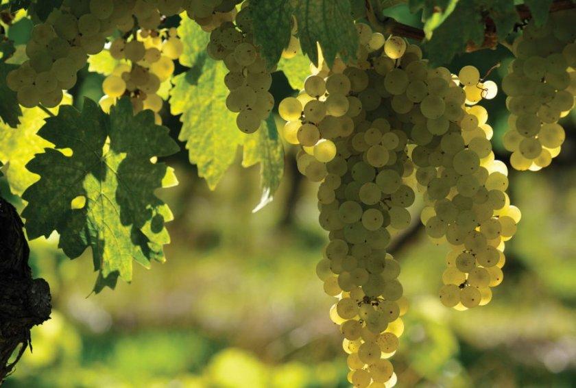 Виноград Уньи Блан