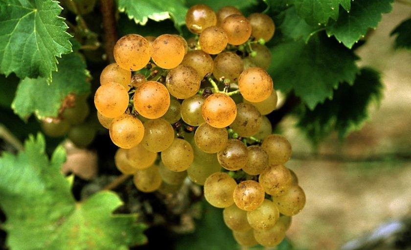 Виноград Семильон