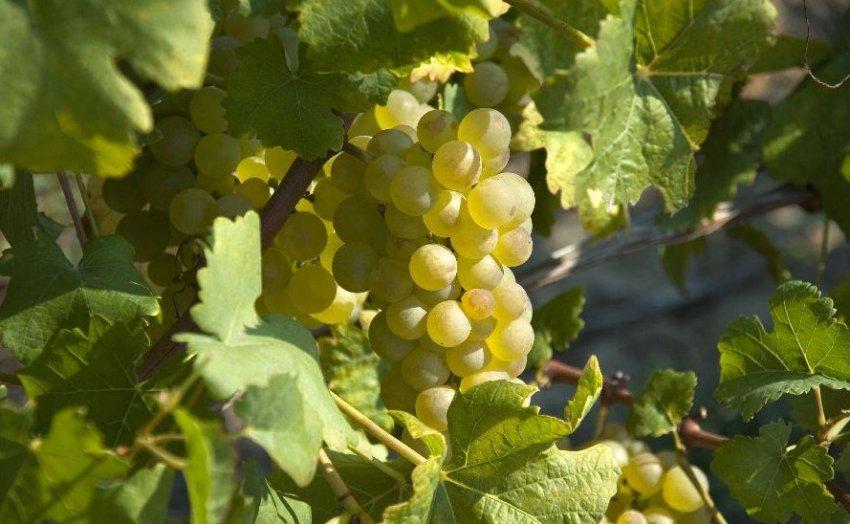 Сорт винограда для коньяка
