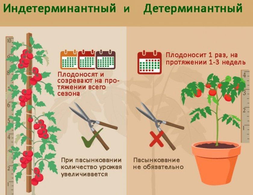 Отличие детерминантных и индетерминантных томатов