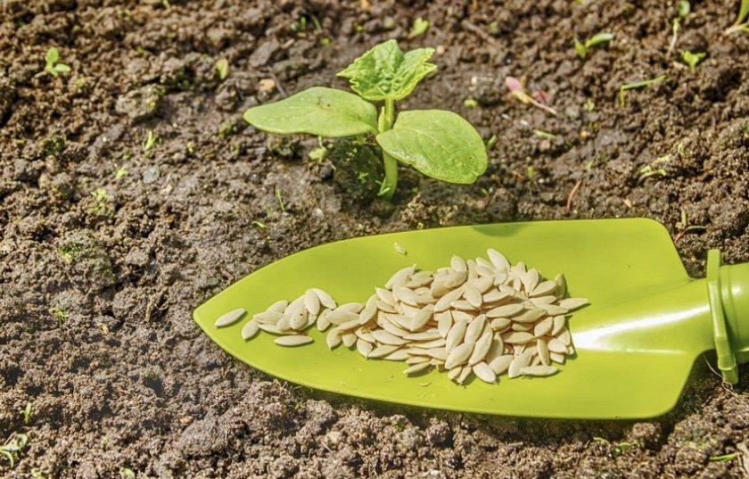 Посадка семян в открытый грунт