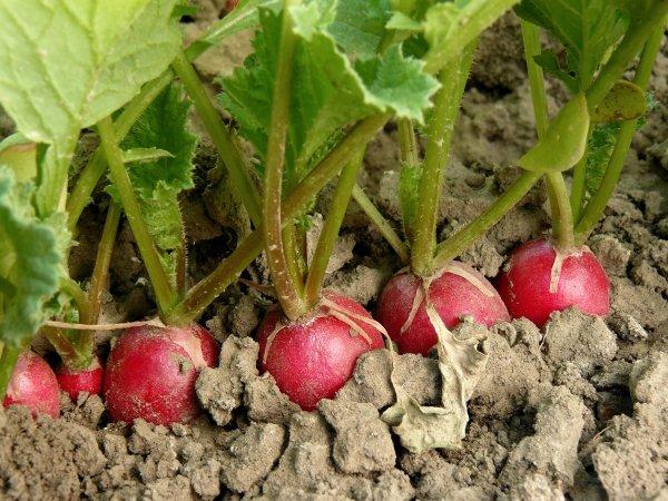 Посадка редиса осенью: когда и как посадить редиску в открытом грунте и теплице, отзывы огородников