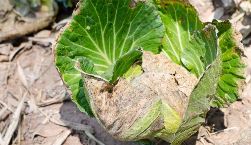 Желтые листья у капусты