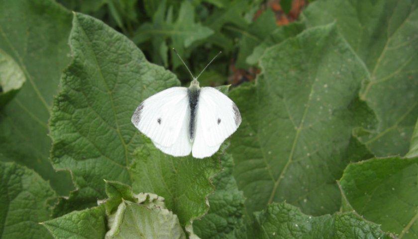 Бабочка-капустянка