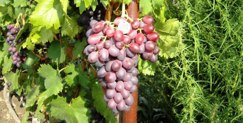 Виноград «Фаэтон»