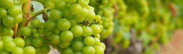 Неукрывные сорта винограда для урала и сибири