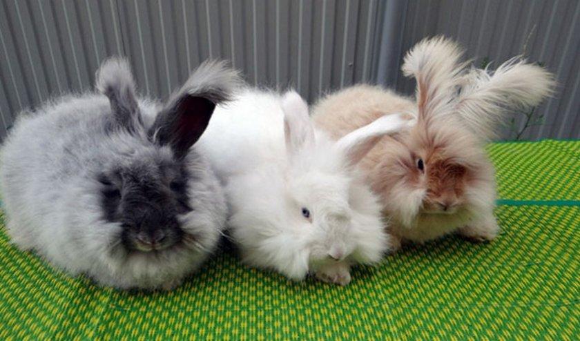 Ангорский декоративный кролик