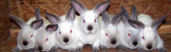 Как создать идеальные условия для содержания калифорнийских кроликов