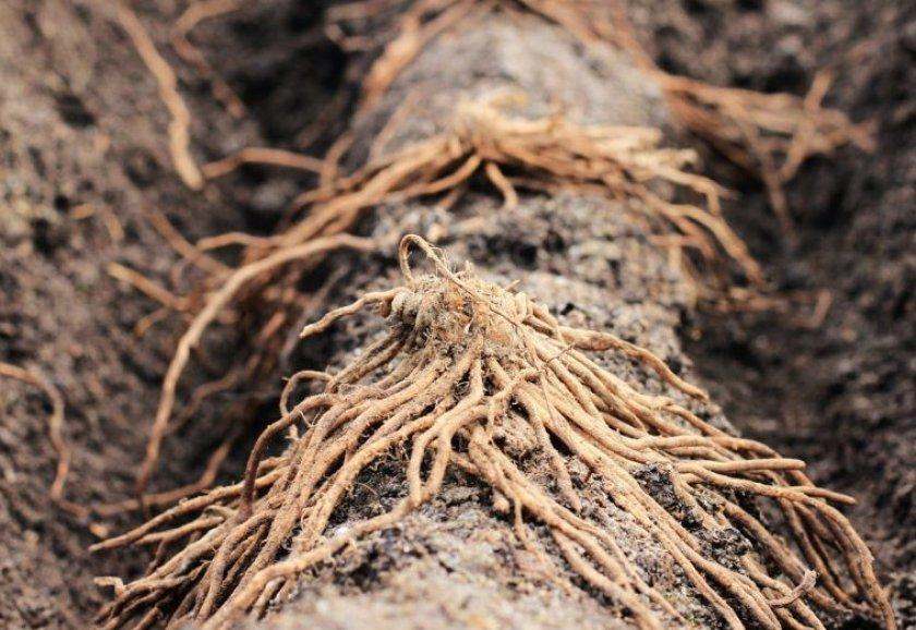 Размножение корнями