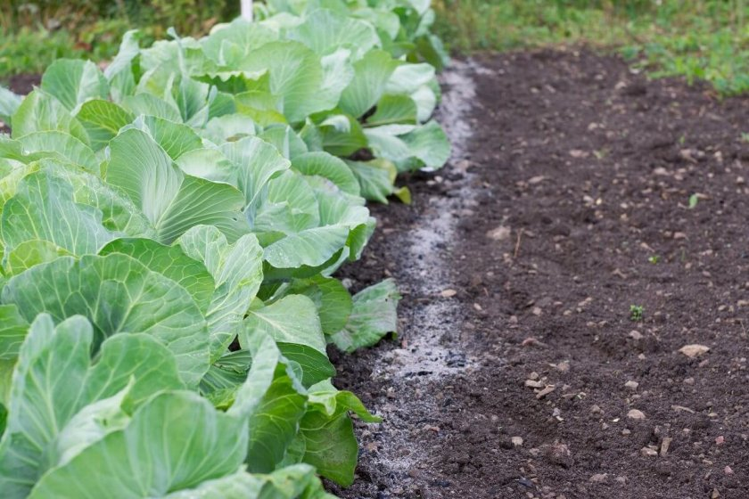 Что делать и чем обработать капусту