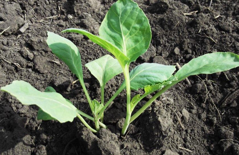 Безрассадный метод посадки капусты