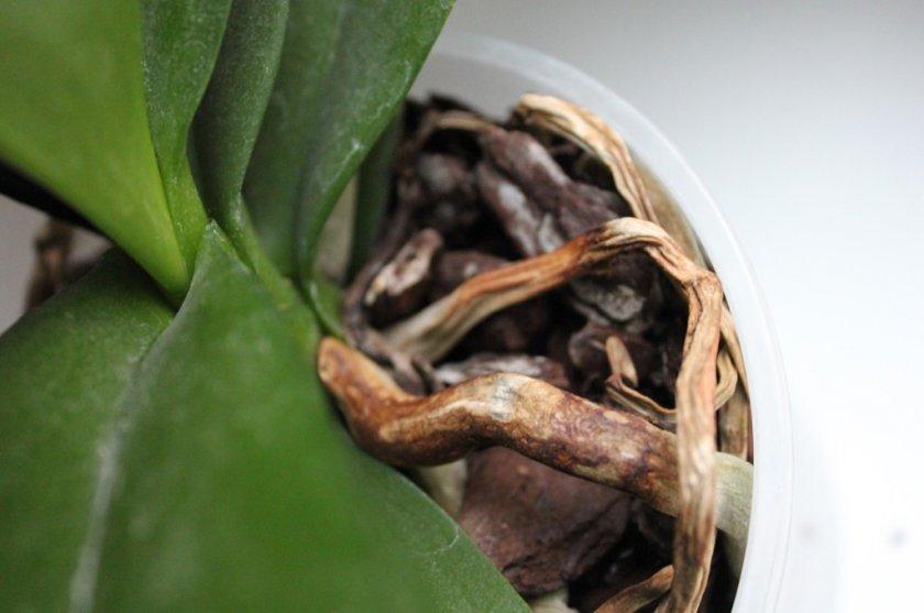 Почему у орхидеи сохнут корни