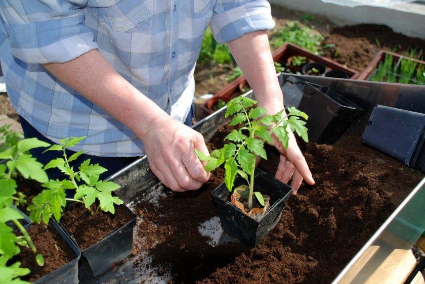 Самостоятельное выращивание рассады