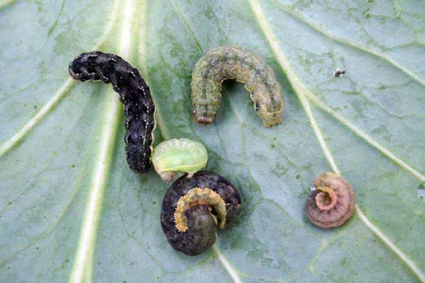 Гусеницы совки