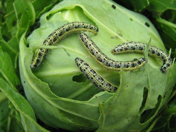 Борьба с гусеницами на капусте народными средствами