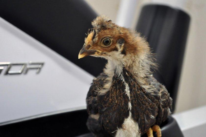 Цыплёнок во время линьки