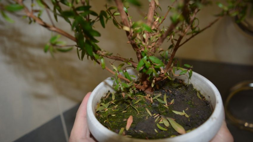 Мирт сбрасывает листья