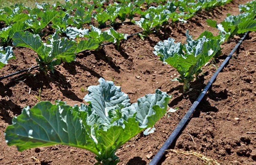 Капельный полив капусты
