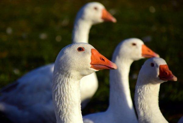 Приспособление для щипания гусей