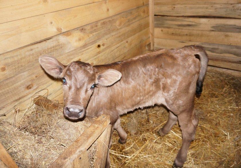 Новорождённый телёнок