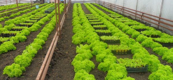 Как правильно выращивать зелень в теплице