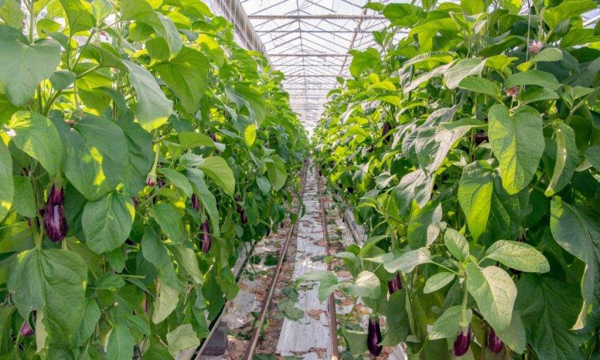 овощи в теплице выращивание