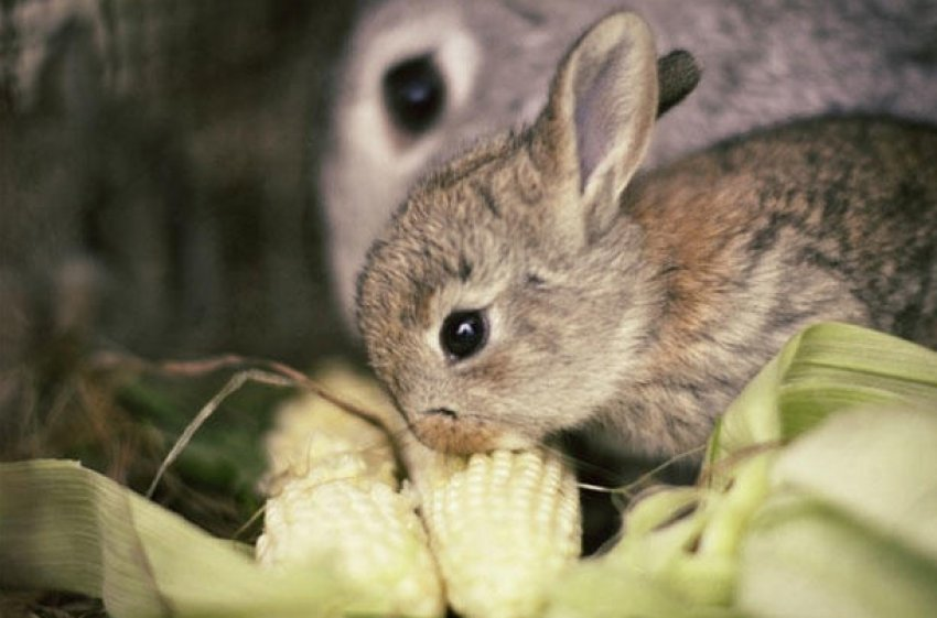 Кролик ест кукурузу