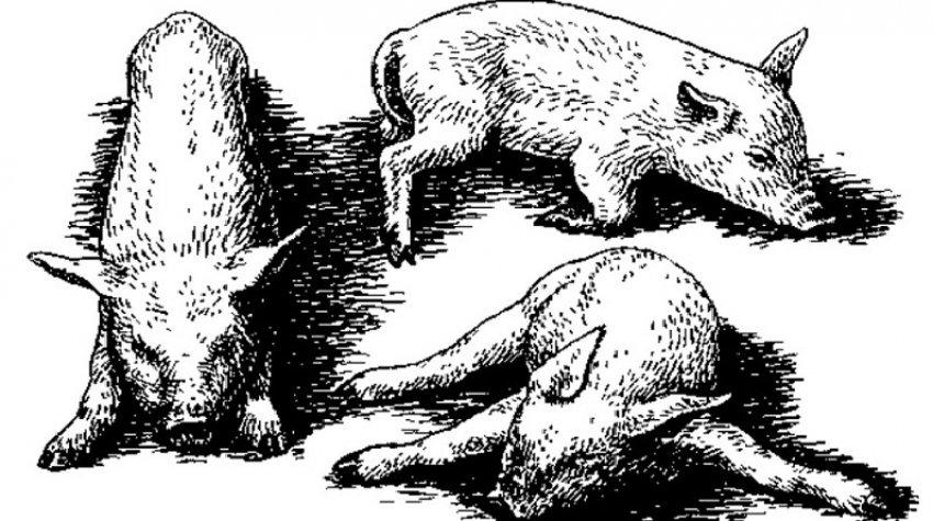 Болезнь Ауески у свиней
