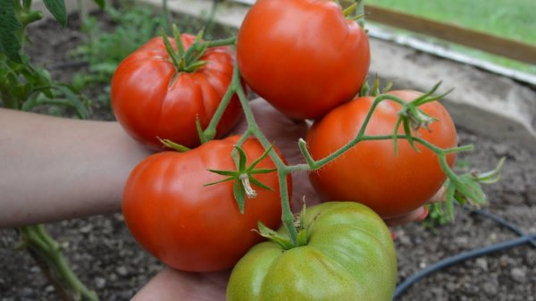 Низкорослые крупноплодные сорта томатов для теплиц