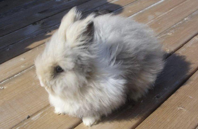 Длинношёрстный кролик