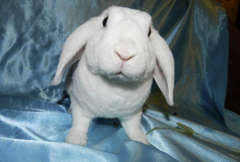 Короткошёрстный кролик