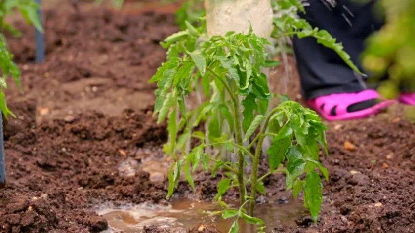 Удобрение томатов