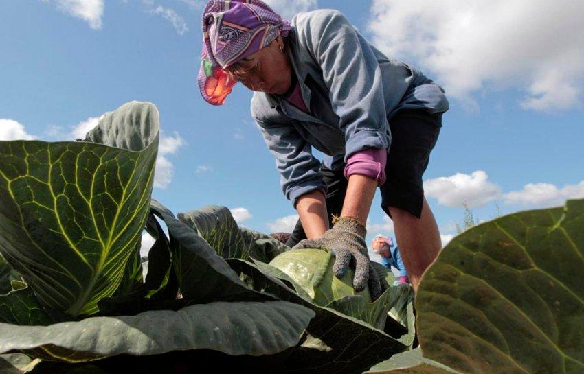 Как собирать капусту