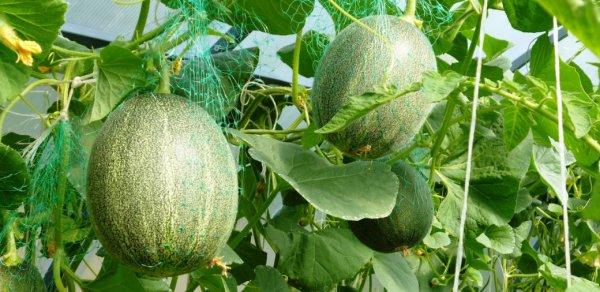 Выращивание дыни в теплице: формирование, посадка и уход с видео