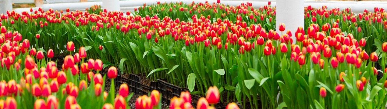 тюльпаны в теплице на продажу